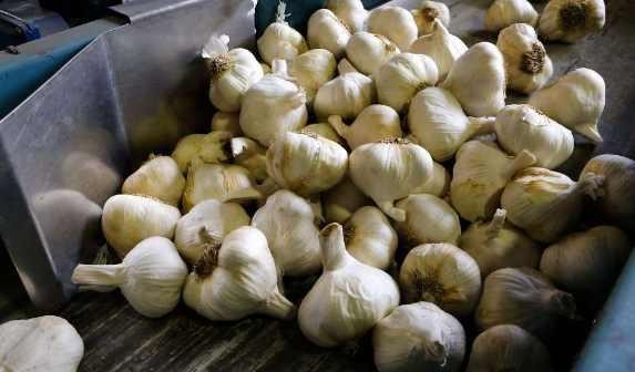 Identify Toxic Garlic