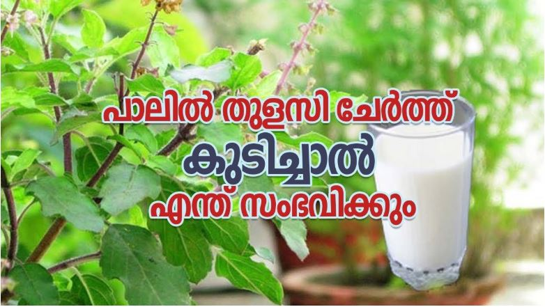 Drink Tulsi With Milk