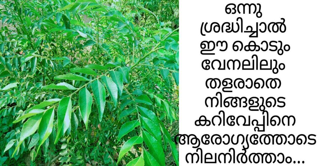 Photo of Curry leaves plant care