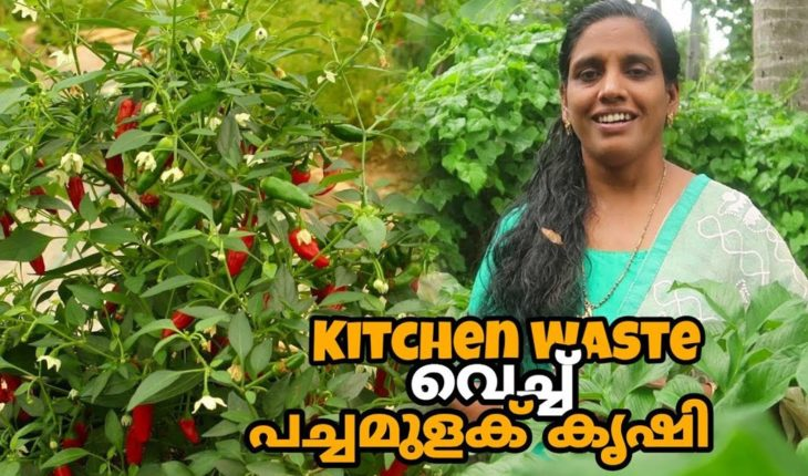 Chilli Farming in Malayalam - Home Pictures :: Easy Tips