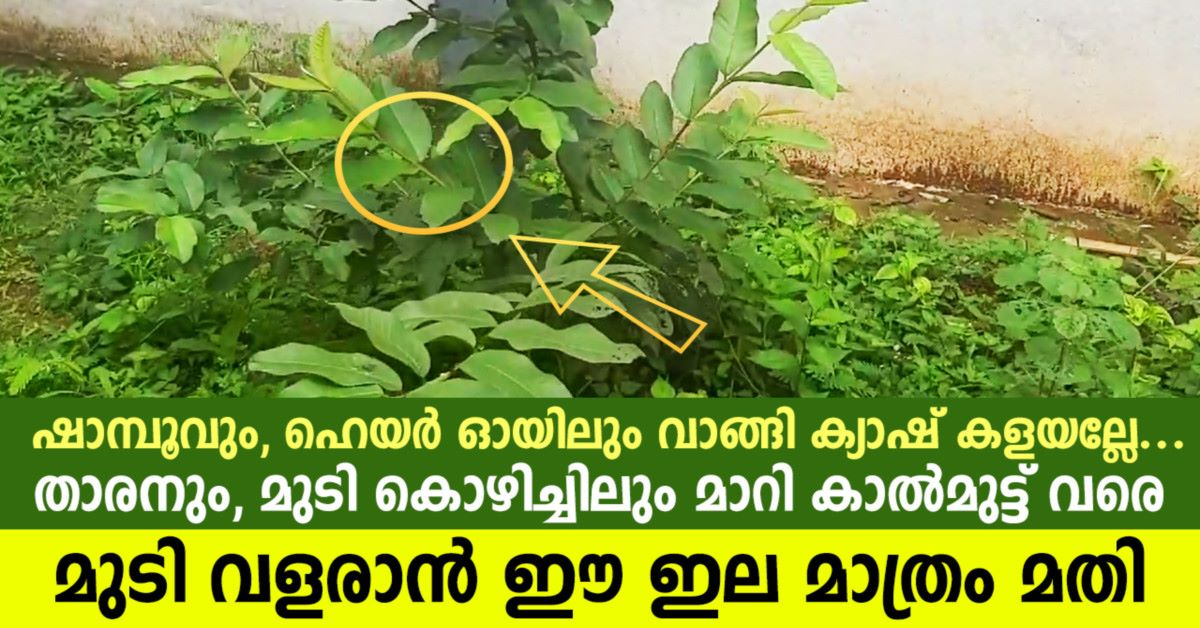 Photo of The leaves alone are sufficient to grow hair up to the knees, turning into dandruff and hair loss