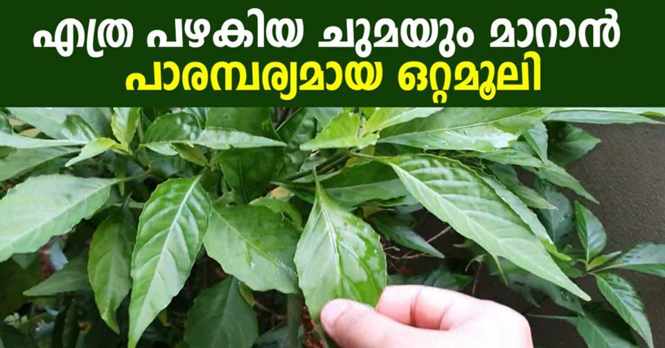 Photo of Adalodakam – Potent Cough Reliever in your Ayurvedic Herbs Garden