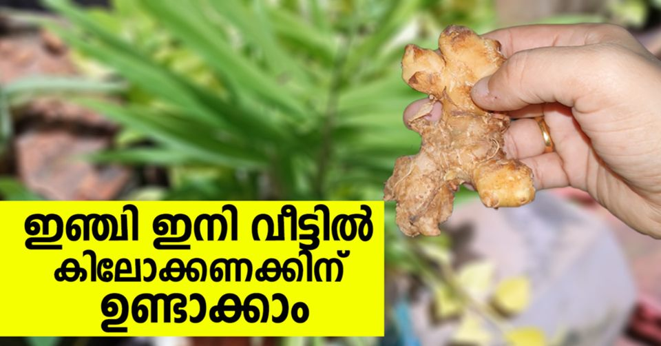 Photo of The Easiest Way to Grow Ginger at Home