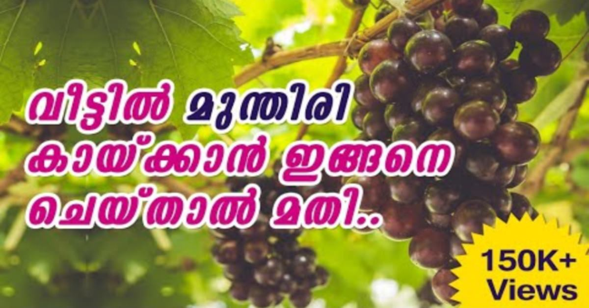 Photo of How to Grow Grapes at Home | Grapes Cultivation Tips | Malayalam