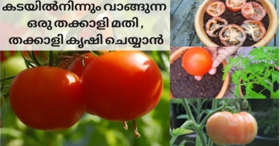 Photo of Tomato Cultivation