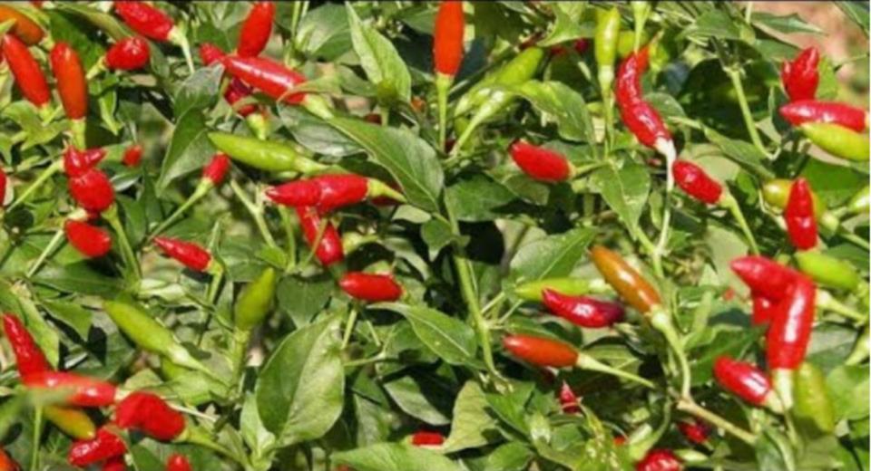 Photo of PROFITABLE CHILLI FARMING