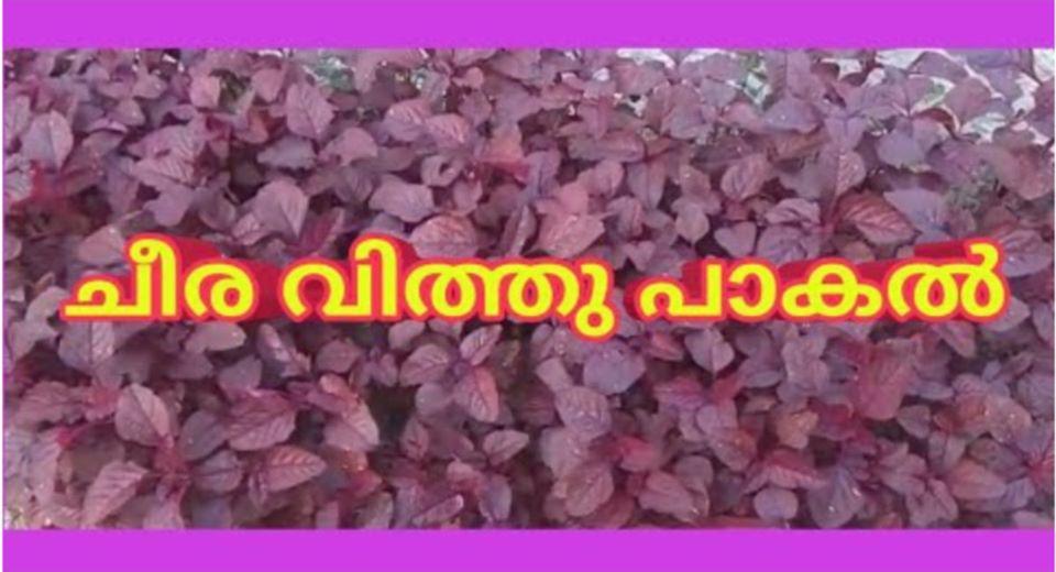 Photo of Cheera Krishi – How To Grow Amaranthus in Your Home Garden