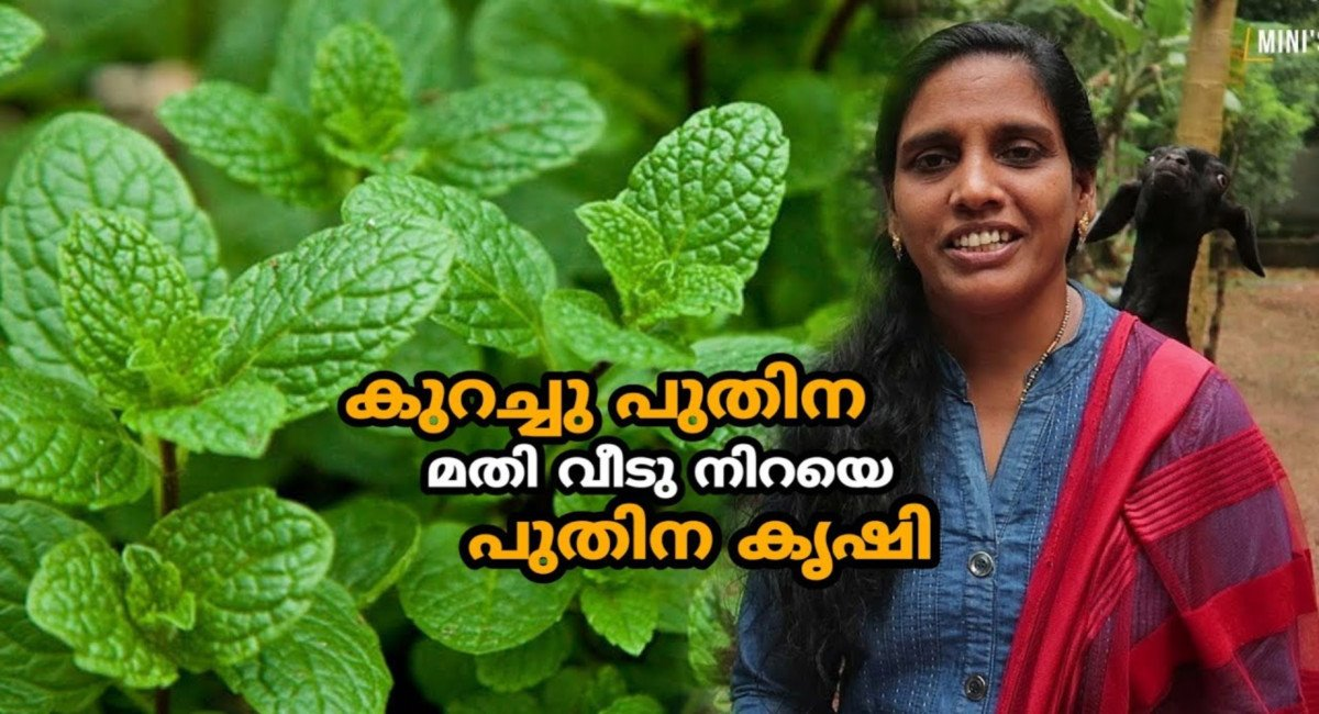 Photo of Mint Farming in Malayalam